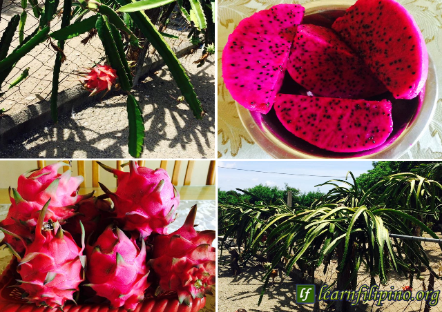 Dragon Fruit - a hot icon fruit in the Philippines these days. Every household wishes to have them in their garden because it is yummy and nutritious.