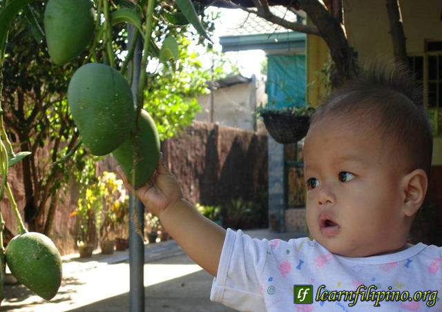 A child reaching out to a mango fruit from a tree. This is a typical scenario for every household in the provinces of the Philippines.