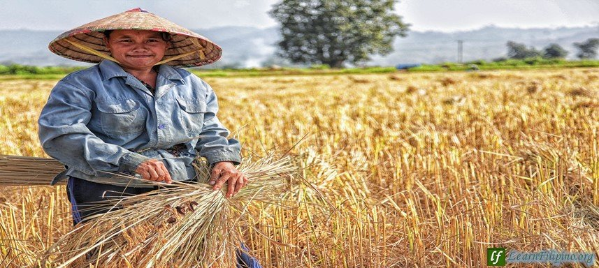 Hardworking person in the Philippines, Rice Fields